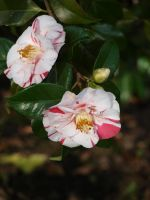Variegated Camellia Stock 06 by botanystock