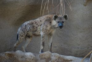 Hyena for Wolfgurly666 by Macropus-Rufus