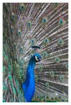 Peacock 2 by OrcOPhoto