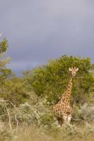 Giraffe in foreboding weather by alecd