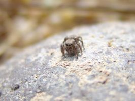 Jumping Spider by Devoral