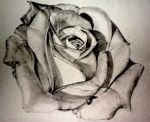 Rose by Anna31081994
