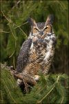 Great Horned Owl by gregster09