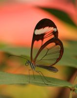 Glasswing Butterfly - II by froggynaan