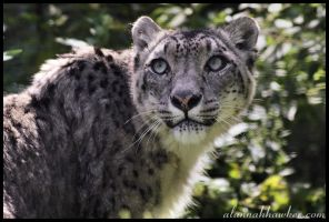 Snow leopard 04 by Alannah-Hawker