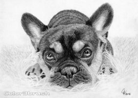 French Bulldog by Color3brush