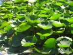 Bed of Lily Pads by zappy-zay
