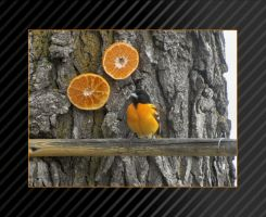 1559 Baltimore Oriole by CitizenOlek
