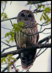 Barred Owl by cosmosue