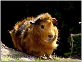 guinea pig 1 by daantje87