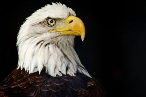 American Eagle by carterr