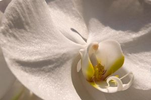 White Orchid 2 by mindbottling