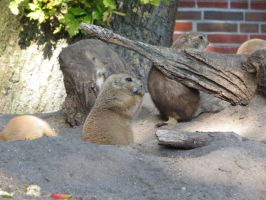 young Marmot 20 by mrscats