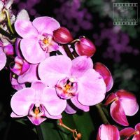 Day 50: Orchid by poserfan-pholio