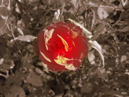 A Single Red Rose by HannahLD