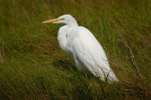 Resting Egret by bovey-photo