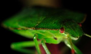 Green Shield Bug by Darryl-Lane