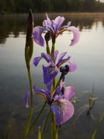 Iris by the Lake by ZombieHntr