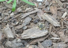 Bee, Resting On the Wood Chips by Miss-Tbones