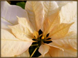 White Poinsettia by AudraMBlackburnsArt