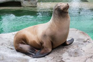 California Sea Lion by PLutonius