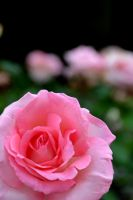 Rose by Thea0978