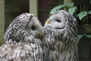 Ural Owls 2 by Skarkdahn