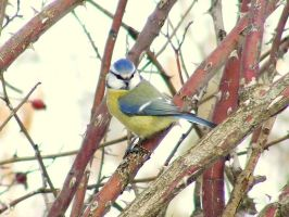 Blue tit by andrew0807