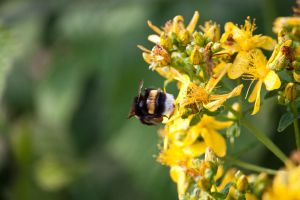 Bumblebee on Yellow Flowers by Kaldrax