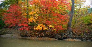 A Row of Fall Colored Trees by Jacob-Routzahn