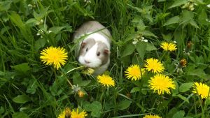 Peppa guinea pig amongst the dandelions by Candyfloss-Unicorn