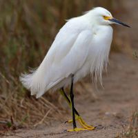 Snowy Egret by clippercarrillo