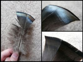 Turkey Feather by CabinetCuriosities