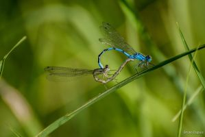 dragonfly's love by BD-76