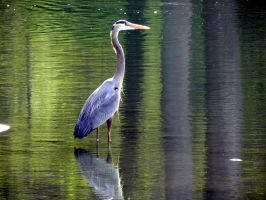 Heron by dmguthery