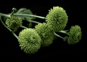 green mums by LucieG-Stock