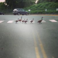 Streetwise Geese by acidfast
