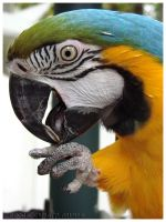 Blue and Gold Macaw by CapturedCosmicDebris