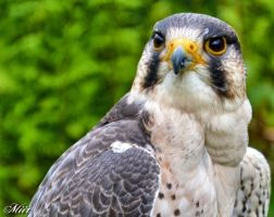 The peregrine falcon by miirex