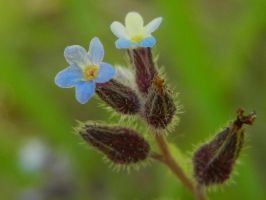 Forget-Me-Not by Zafer-Aistra