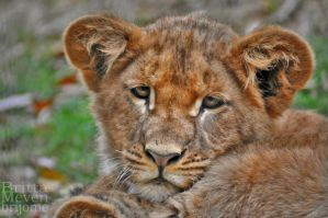 Tired little lion by brijome