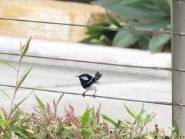 Superb Fairywren 4 by Jellybeansnlilfinch