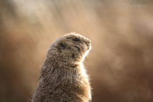 Prairie dog by Sabbie89