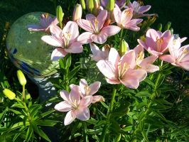 Pink Asiatic Lily 5 by racheltorres921