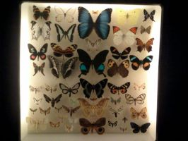 Butterfly Collection by Ryanx2