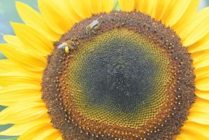Pollen Station, Bees and Sunflower 10 by Miss-Tbones