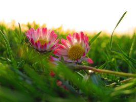Daisies and grass by Daisydog8