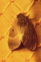 Moth with a Mane by organicvision