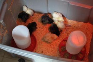 chick diaries - day two: acclimated by DragonusPrime