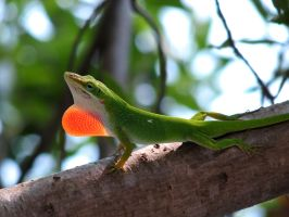 Green Anole -- Back Off by KatHart